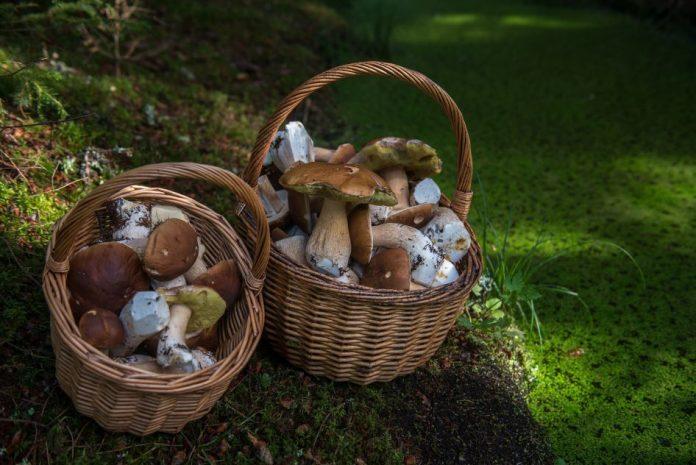 sagra del fungo porcino